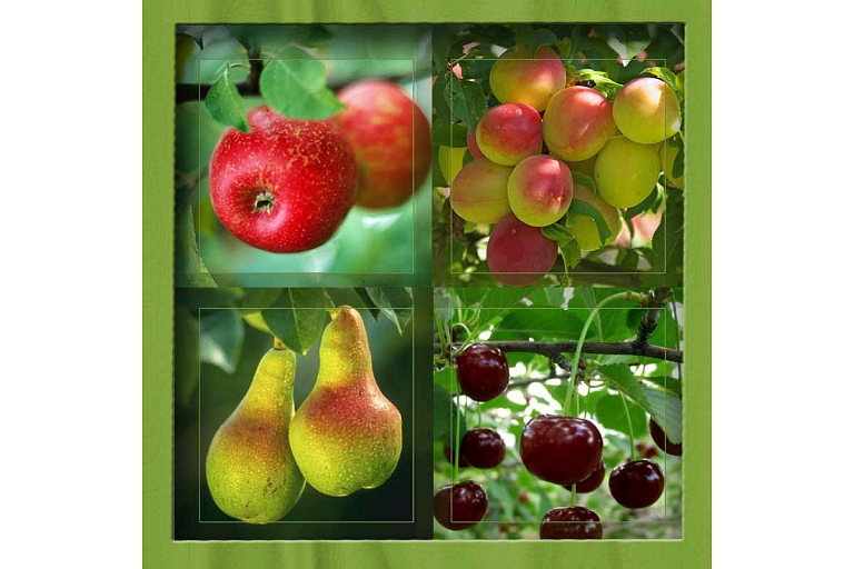Fruit tree plants