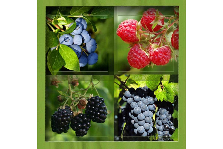 Berry bush plants