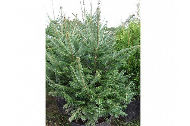 Ornamental spruce plants