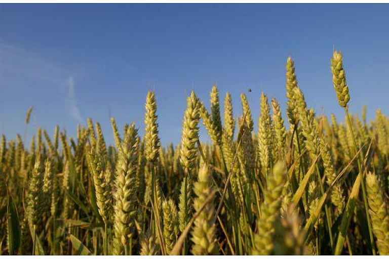 Graudkopība, kvieši, mieži, rapsis, rudzi, auzas, graudi, audzēšana, tirdzniecība