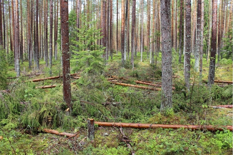Mežizstrāde, Mežu pirkšana, vērtēšana, cirsmu pirkšana, pērk mežus, (mežs, meži) pērk cirsmas, dastošana, stigošana, kopšana, meža taksācija, inventarizācija, vērtēšana.Vidzeme.
