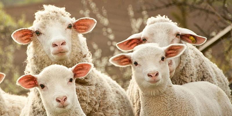 Aprīkojums aitām un kazām