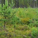 Mežu stādīšana un kopšana