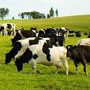 Aprīkojums govīm