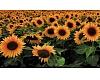 """""""Saulespuķe"""", ziedu studija"""